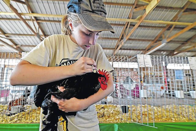 Julie Cilvik of Benton gussies up her Black Bantam Cochin before the opening of the 2019 Luzerne County Fair. The fair's 2021 run kicked off Wednesday and continues through Sunday.                                  Times Leader file photo